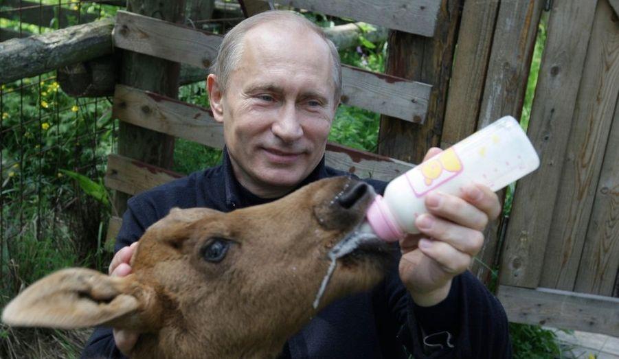 Proche de la nature donc, Vladimir Poutine passe logiquement aussi pour un grand amoureux des animaux. Le Premier ministre russe nourrit sur cette photo un jeune élan de la réserve de Losiny Ostrov, au nord de Moscou, en 2010.