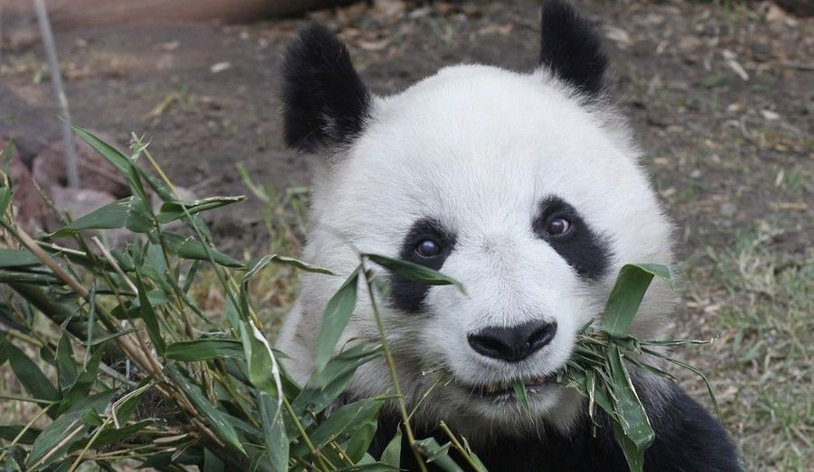 Shuan Shuan, une femelle panda de 25 ans mâche des pousses de bambou, dans son enclos au zoo de Chapultepec à Mexico, le 30 mai 2011. Bientôt, des spécialistes de la reproduction animale venus de Chine effectueront une insémination artificielle sur Shuan Shuan afin de préserver l'espèce, a annoncé Marta Delgado, ministre de l'Environnement du Mexique.