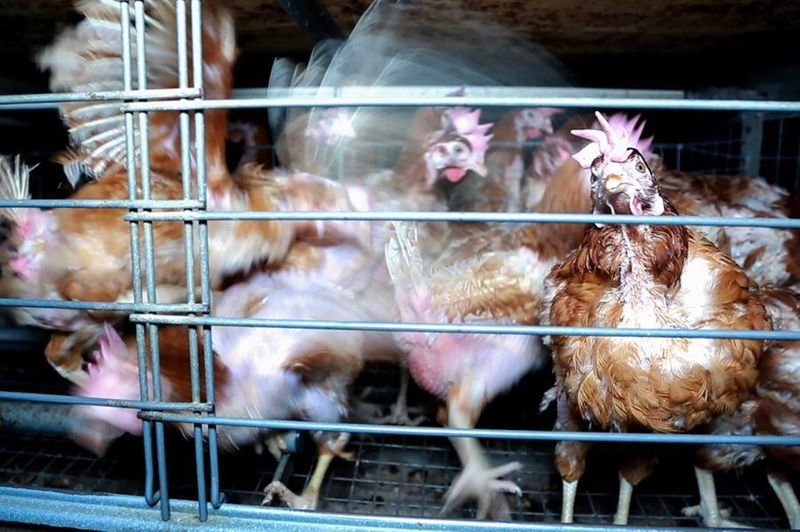 Les poules sont entassées et ne profitent pas d'uneaire de picotage et de grattage.