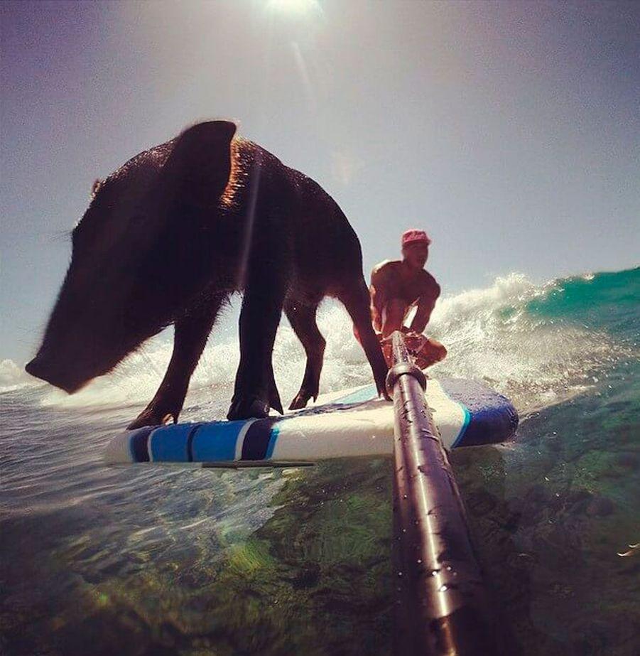 Kama, le cochon surfeur à Hawaï