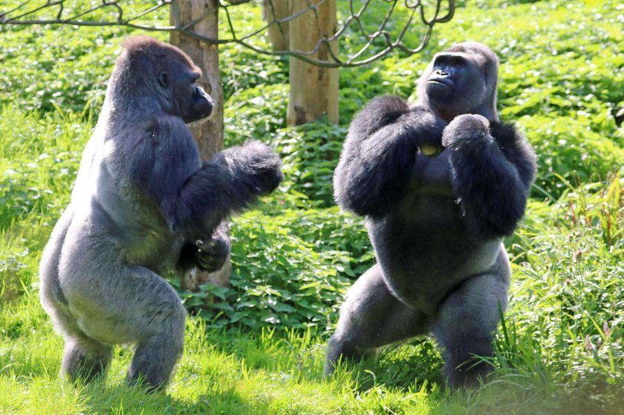 Combat de gorilles poids lourds au zoo de Devon.