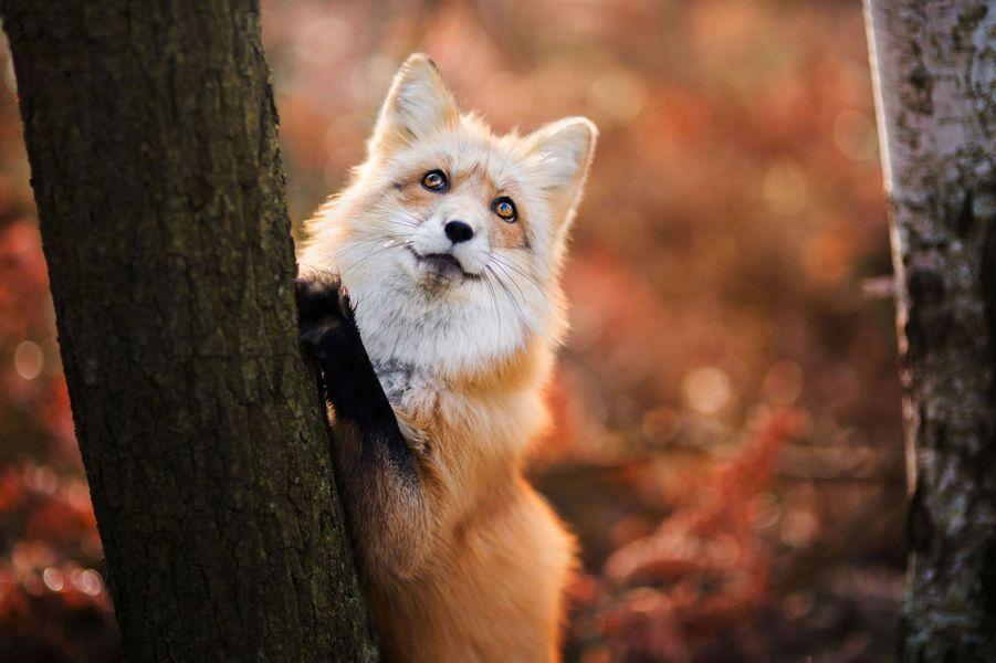 Freya, la jeune renarde vit en Pologne