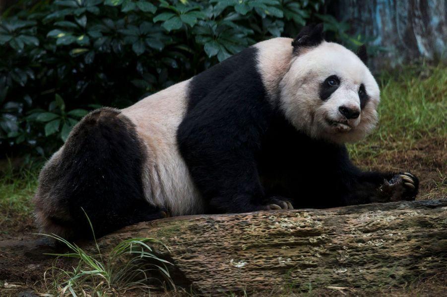 Jia Jia était le plus vieux panda du monde.