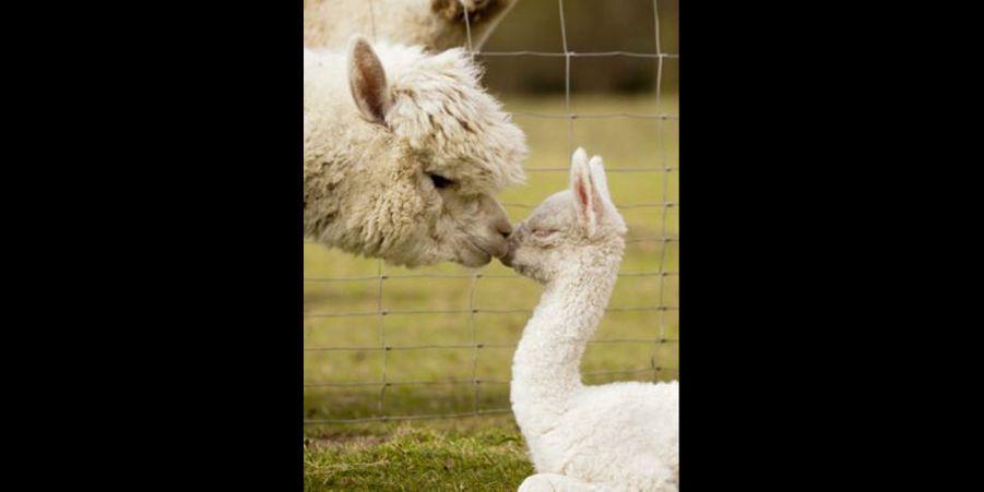 Doux baiser de la part de la mère alpaga à son nouveau-né. (voir l'épingle)