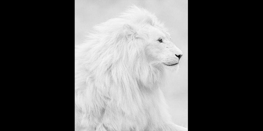 Le lion blanc se distingue de ses compères avec une fabuleuse crinière blanche pas vraiment discrète dans la savane. (voir l'épingle)
