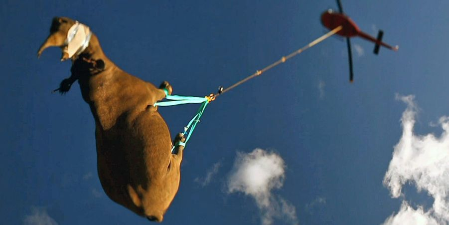 Evacuation d'un rhinocéros depuis le Cap Oriental, en août 2014