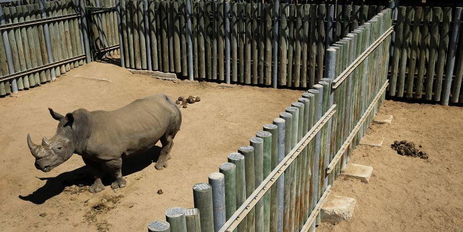 Un rhinocéros se trouve dans son enclos au sein du parc national Kruger, en août 2014