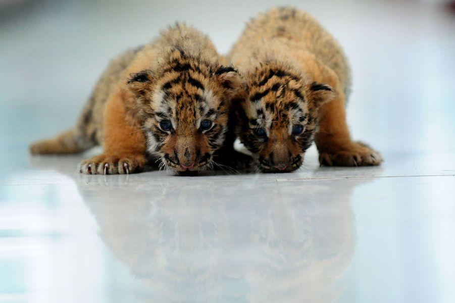 A un mois, les petits tigres de Sibérie sont déjà féroces