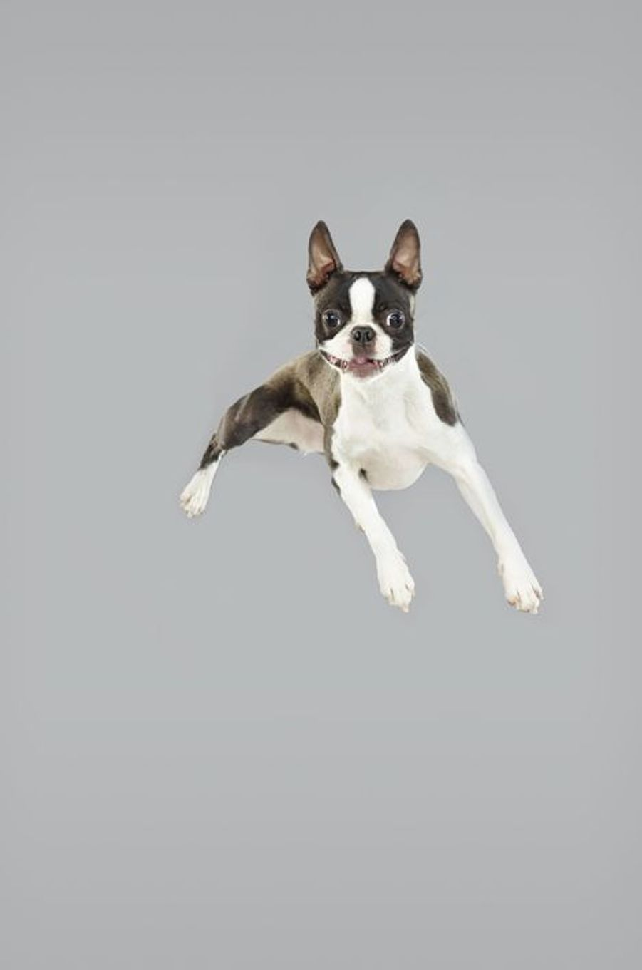Air Dogs, les chiens volants