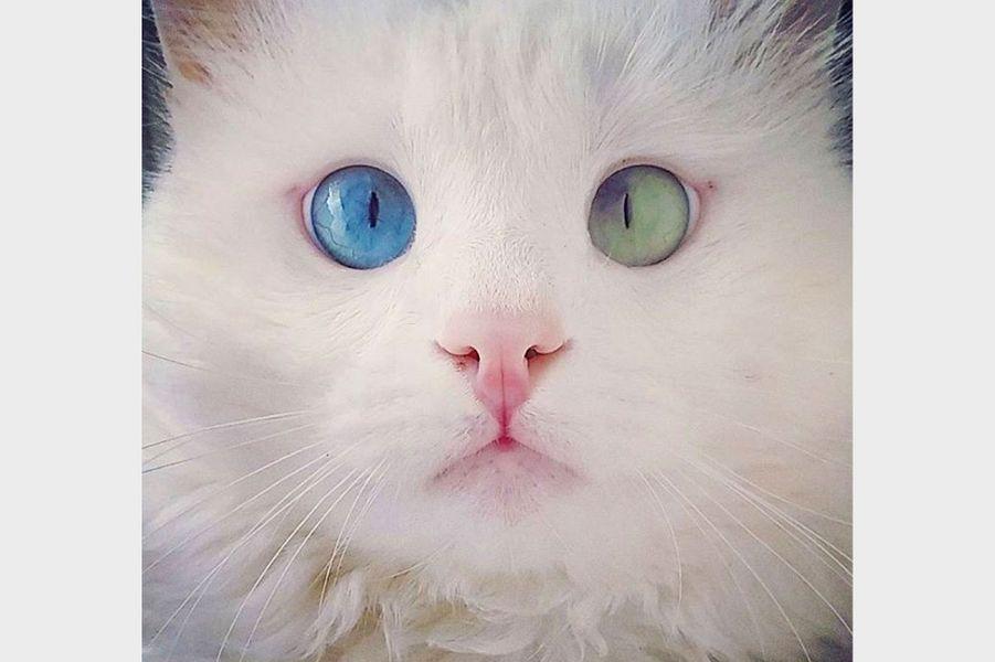 Alos, le chat turc aux yeux vairons est la nouvelle coqueluche du web