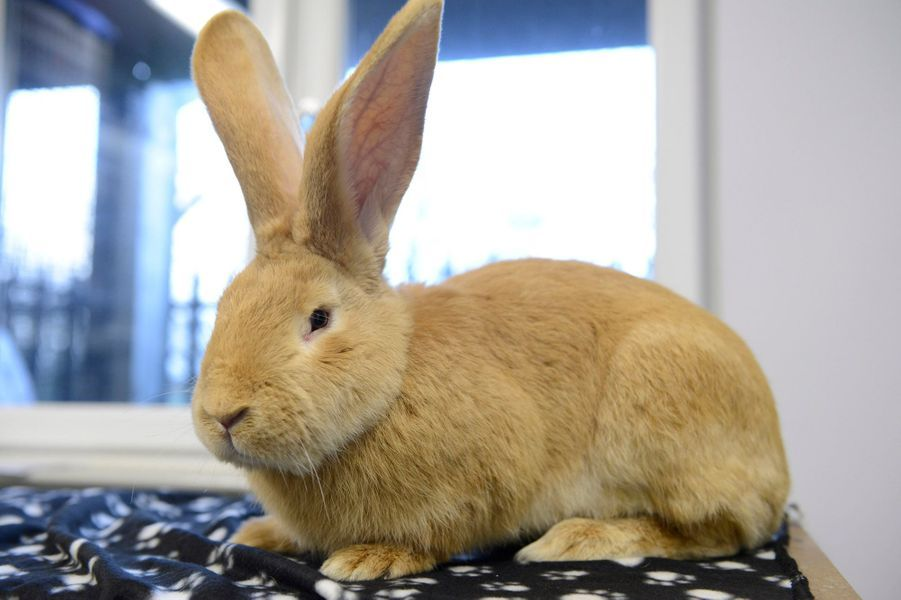 Atlas le lapin géant recherche foyer aimant