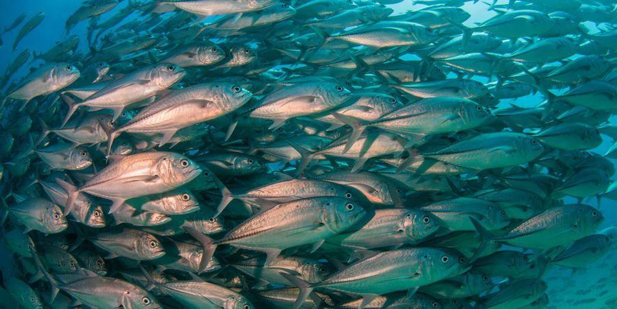Deux plongeurs ont pu traverser une nuée de poissons au large du Mexique