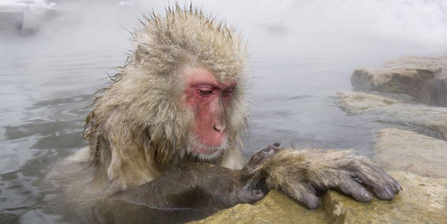 Au Japon, les macaques sont détendus