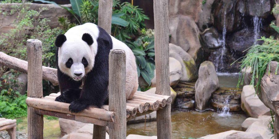 Xing Xing, le panda mâle du zoo de Kuala Lumpur