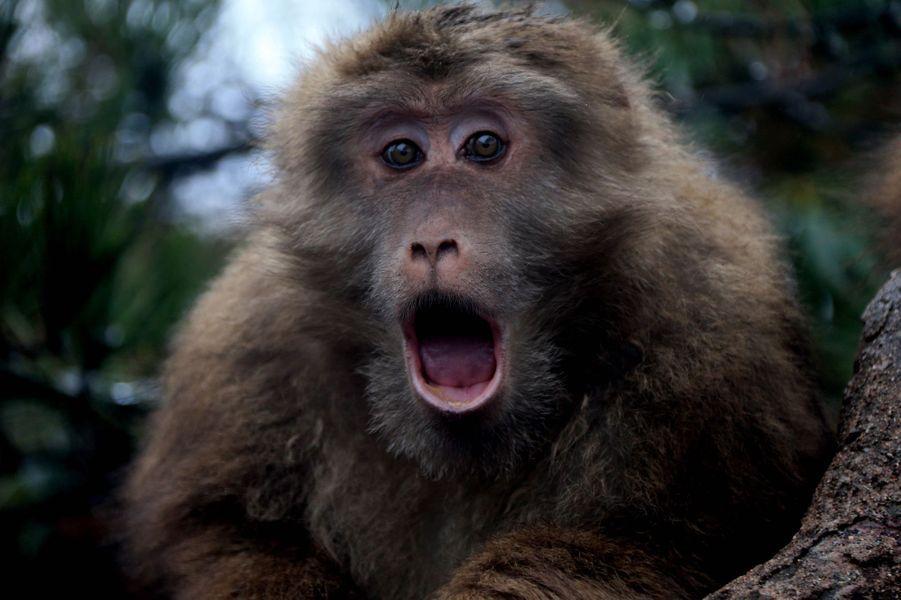 Avec les macaques des monts Jaunes, en Chine