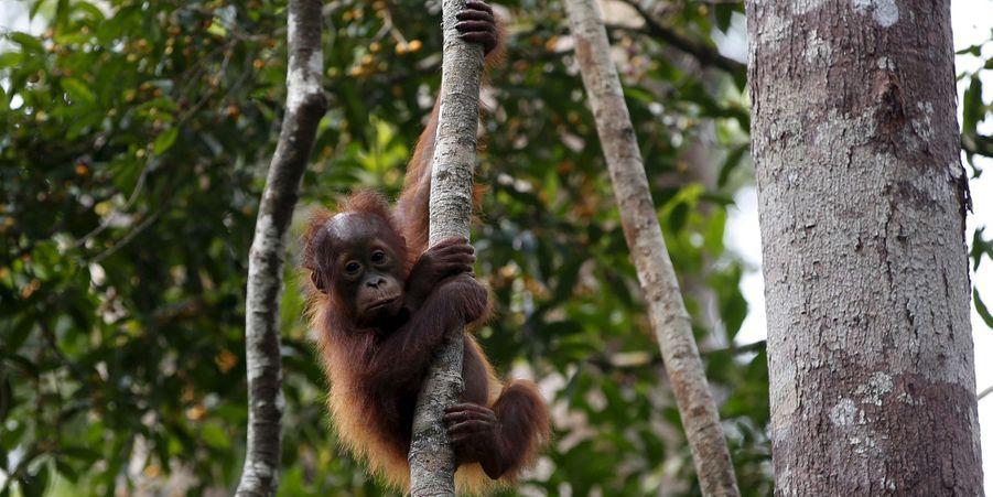 Avec les orang-outans du Kalimantan, en Indonésie