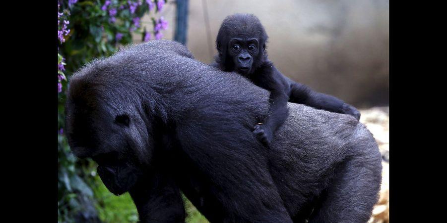 Deux petits gorilles sont nés au zoo de Taronga en l'espace de sept mois