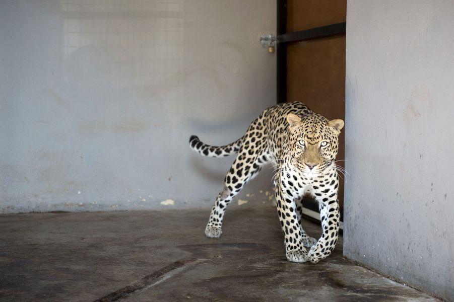 Bagheera, le léopard atteint d'une tumeur cancéreuse sauvé grâce à la radiothérapie