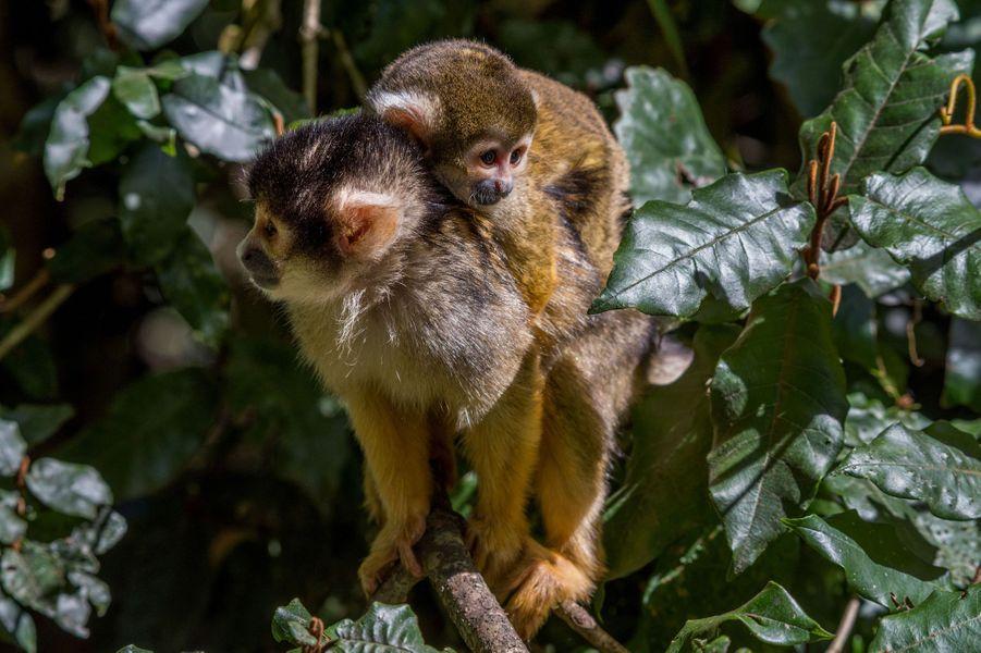 Balade pour le capucin bien accroché en Afrique du Sud