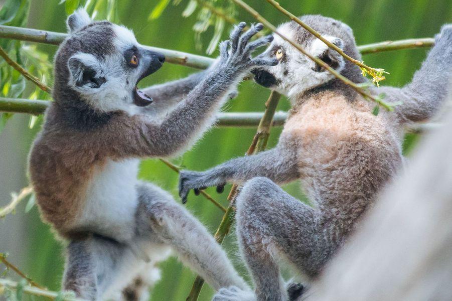 Bataille chez les lémuriens au zoo de Novossibirsk