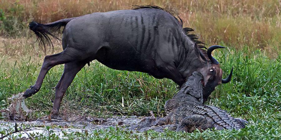 Bataille entre un crocodile et un hippopotame pour un gnou