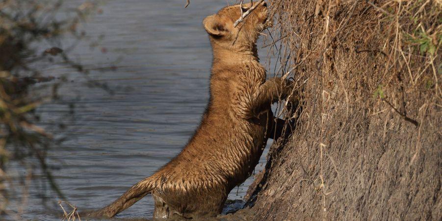 La maman lion n'hésite pas pour sauver son petit