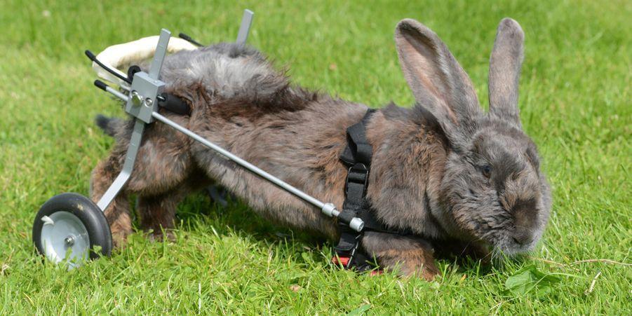 Bertha, la lapine à roulettes