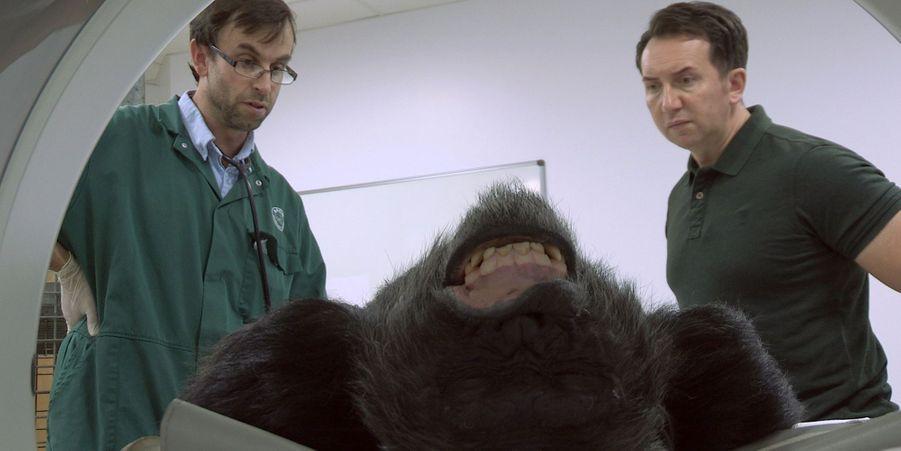 Bili le chimpanzé passe un scanner