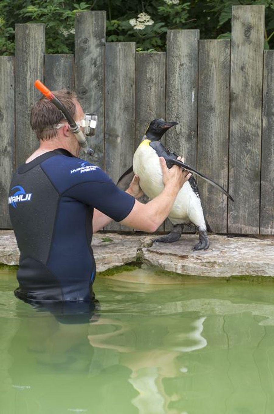 Charlotte le manchot aquaphobe apprend à nager avec Alistair le soigneur