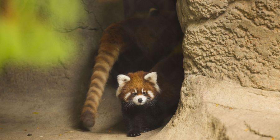 Clark et Addison les pandas roux pointent le bout de leurs nez
