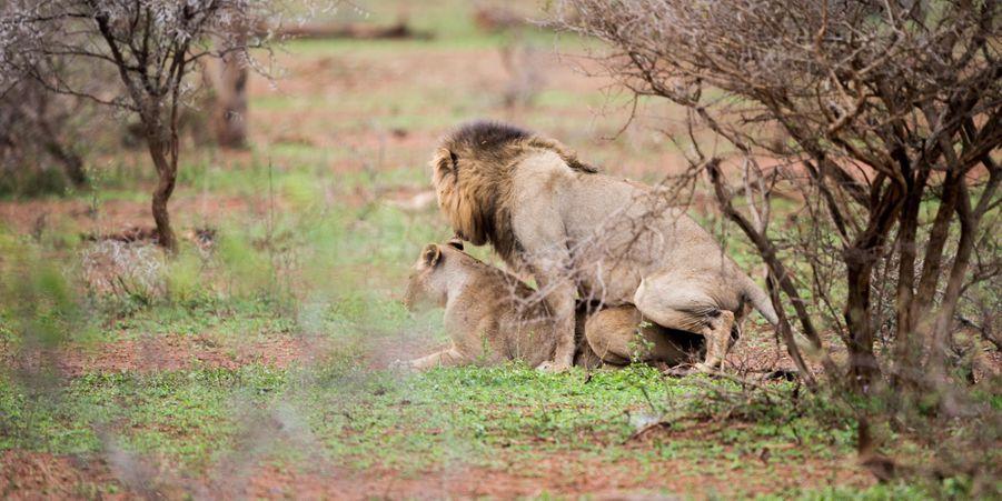 Dérangé en plein accouplement, le lion attaque