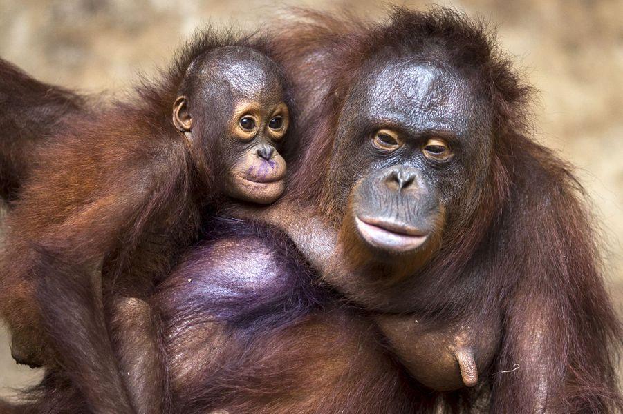 Derniers examens avant le retour en Indonésie pour les orangs-outans