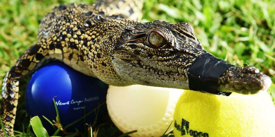 Les crocodiles montrent leur côté joueur