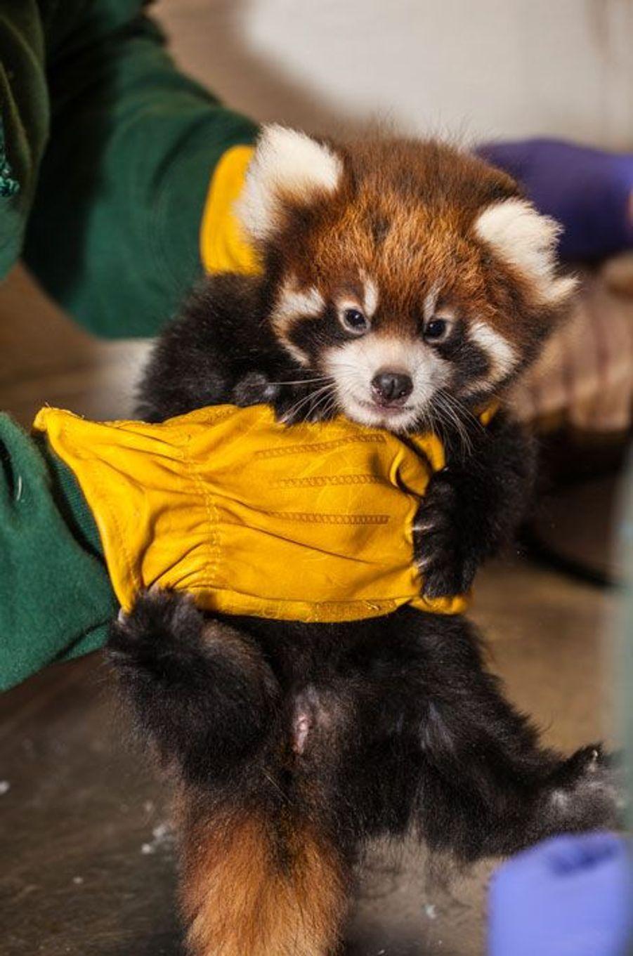 Deuxième examen médical pour les petits pandas roux