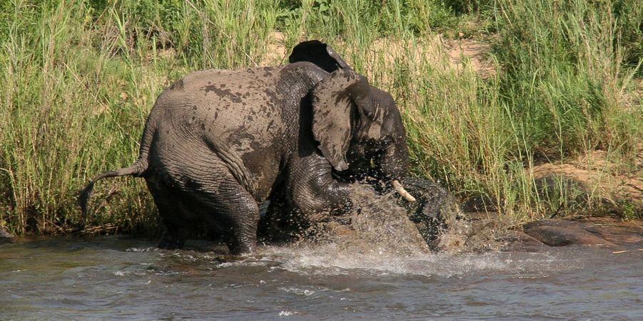 Scène de combat entre un éléphant et un crocodile