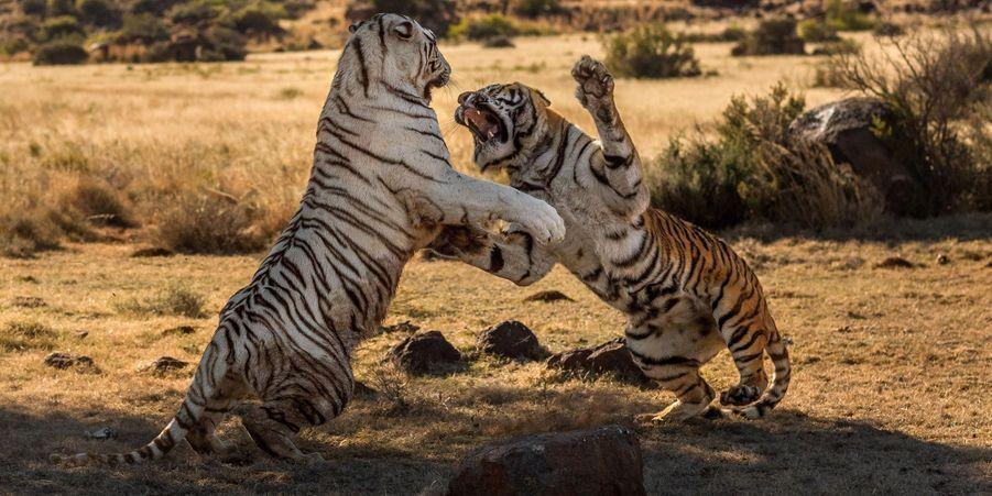 Féroce combat de tigresses