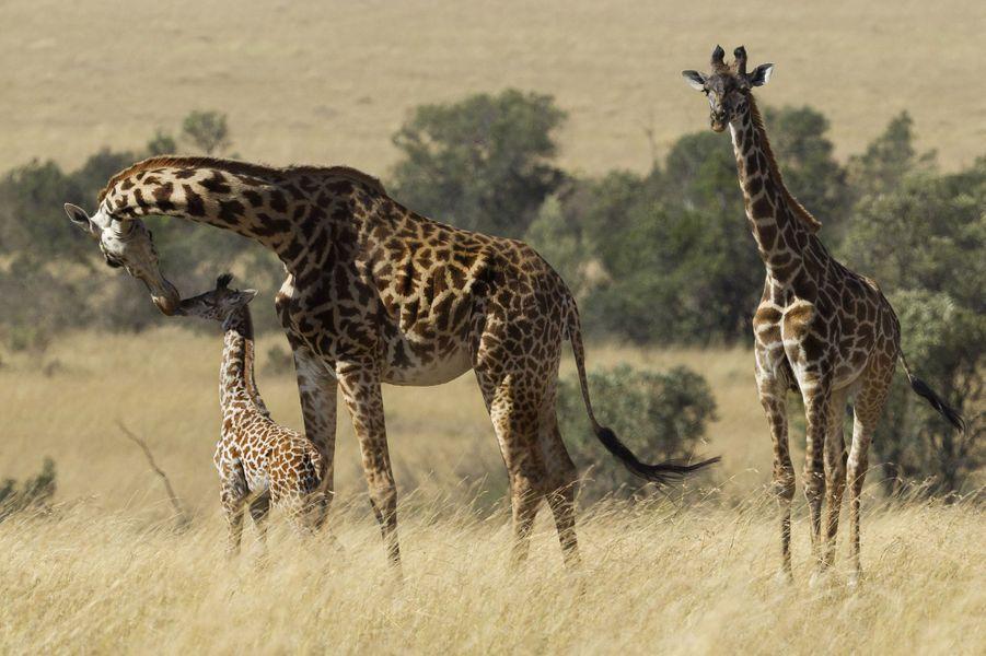 Gestes tendres chez les girafes de la réserve du Masai Mara, au Kenya