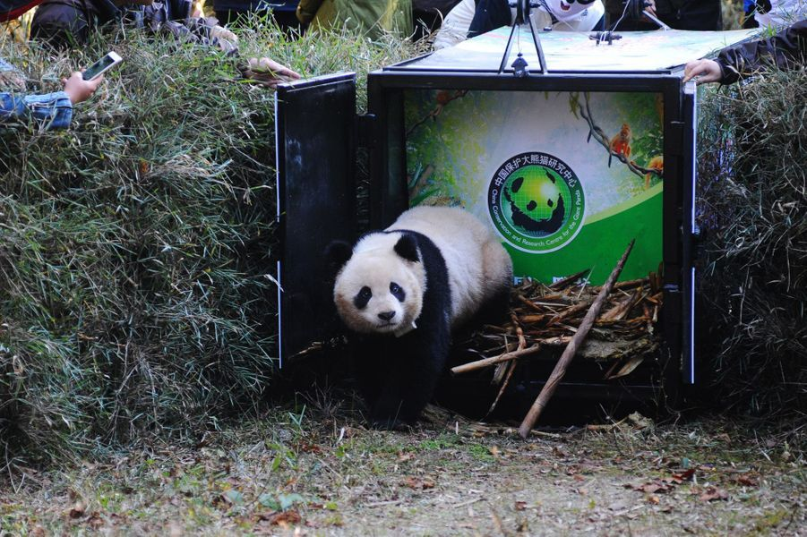 Hua Jiao le panda retrouve la nature