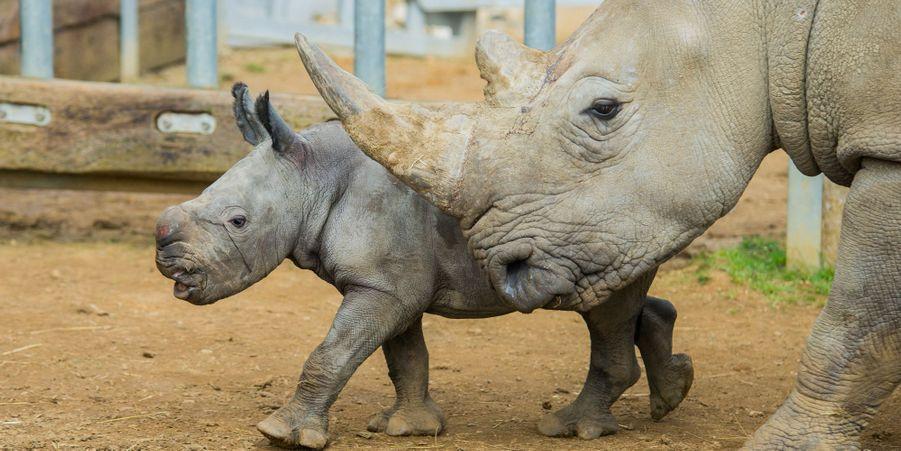 Première sortie pour Ian le petit rhinocéros blanc