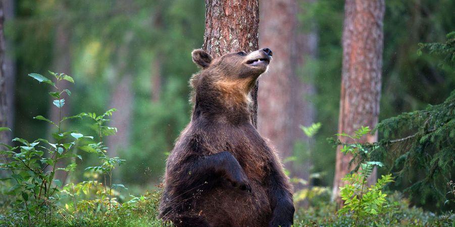 """Cet ours brun se frotte contre un arbre tel Baloo, du """"Livre de la jungle"""""""
