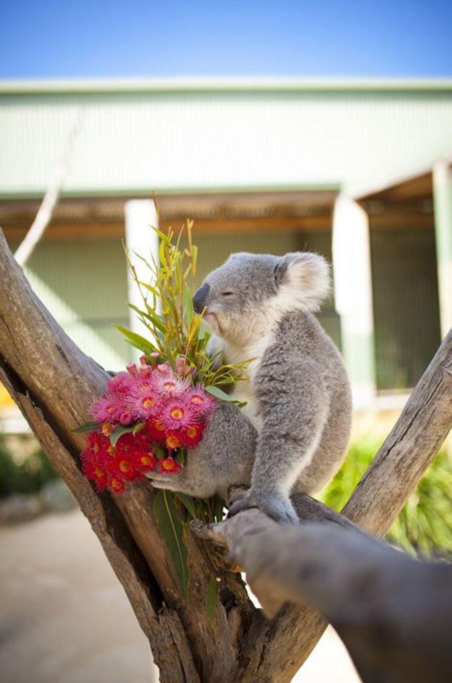 Imogen le koala fête la Saint-Valentin