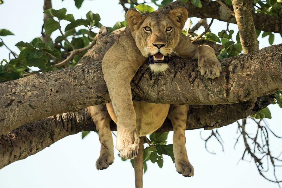 Instant de flemme pour la lionne, en Ouganda