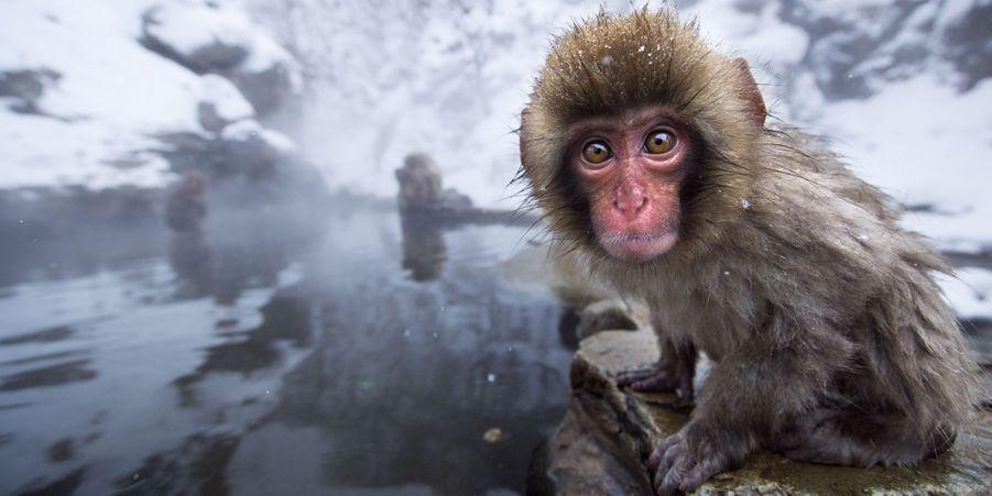 Instants de tranquillité dans le Parc aux singes de Jigokudani, au Japon