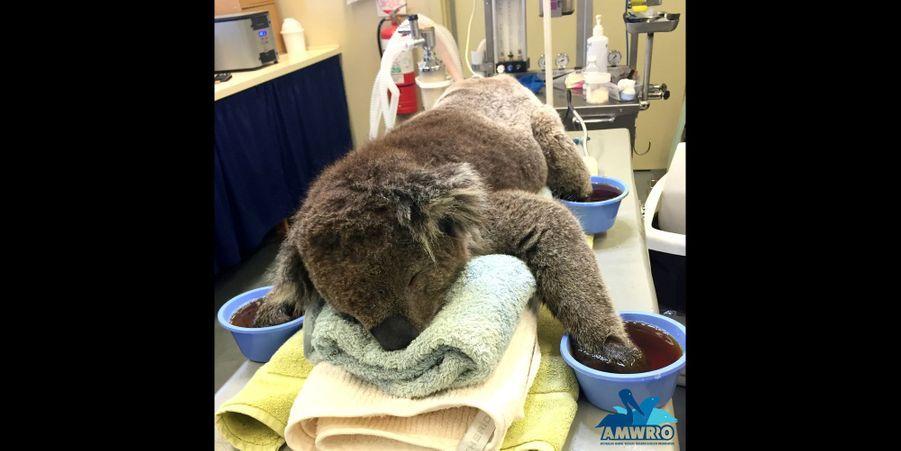 Jeremy le koala soigné pour des brûlures