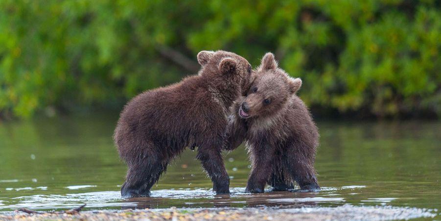 Jeux de pattes pour les oursons en Russie