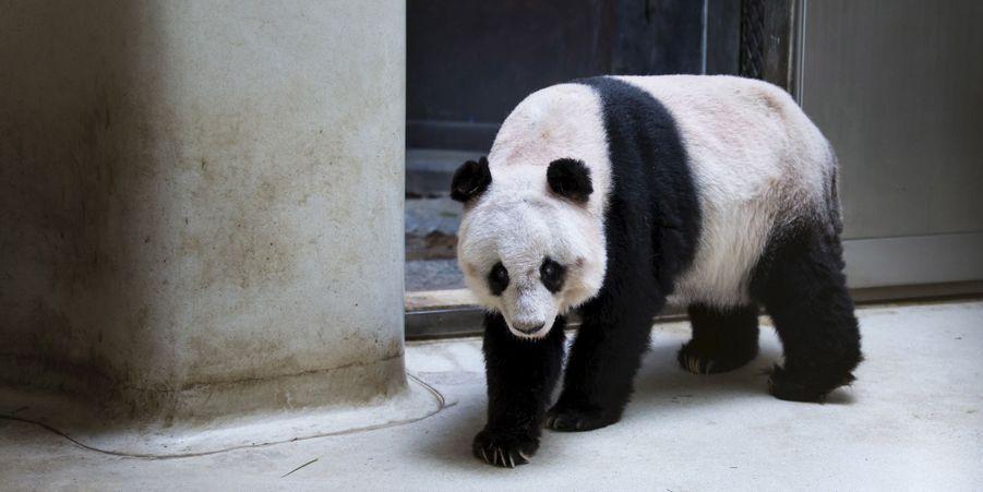 Jia Jia le panda fêtera bientôt son 37ème anniversaire