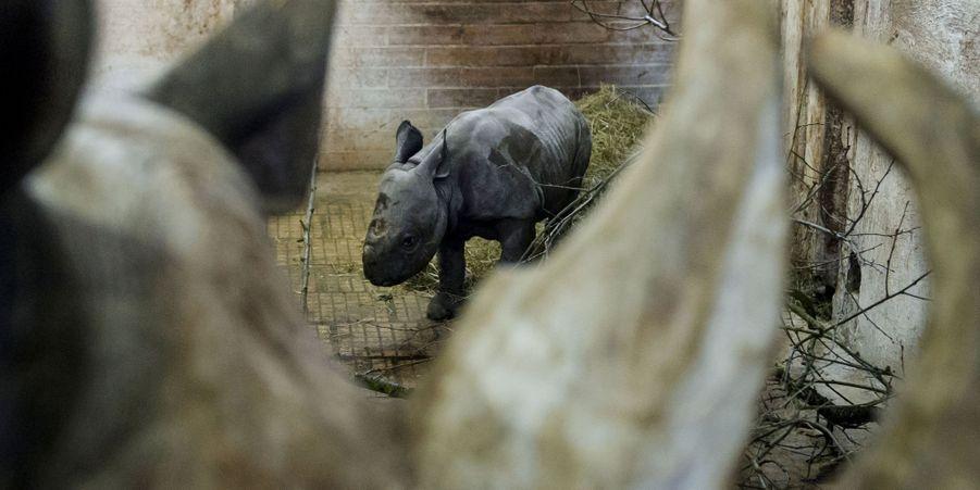 Premier anniversaire pour Maruska le rhinocéros