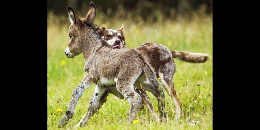 L'amitié insolite de Siesta le bébé âne et Sudo le berger australien