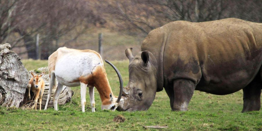 L'antilope protège son petit d'un rhinocéros