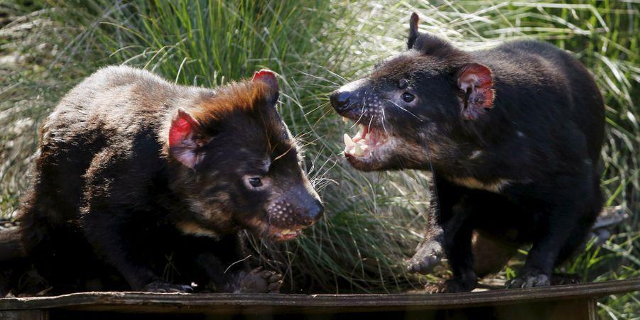 L'Australie réintroduit des diables de Tasmanie dans la nature